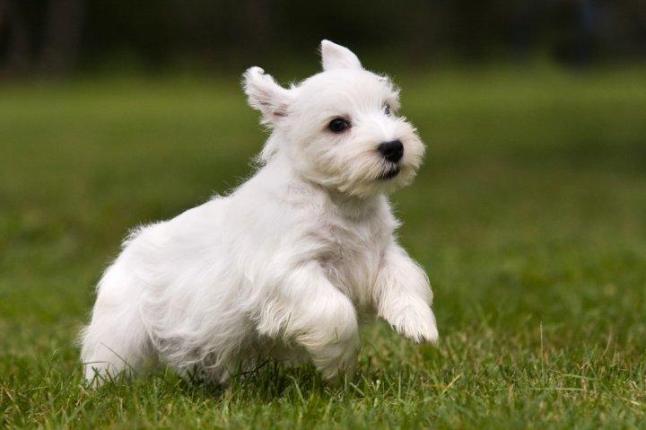 Sealyham Terrier Welpen