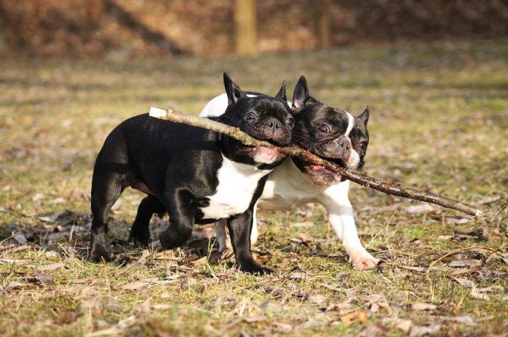 Französische Bulldogge - bild