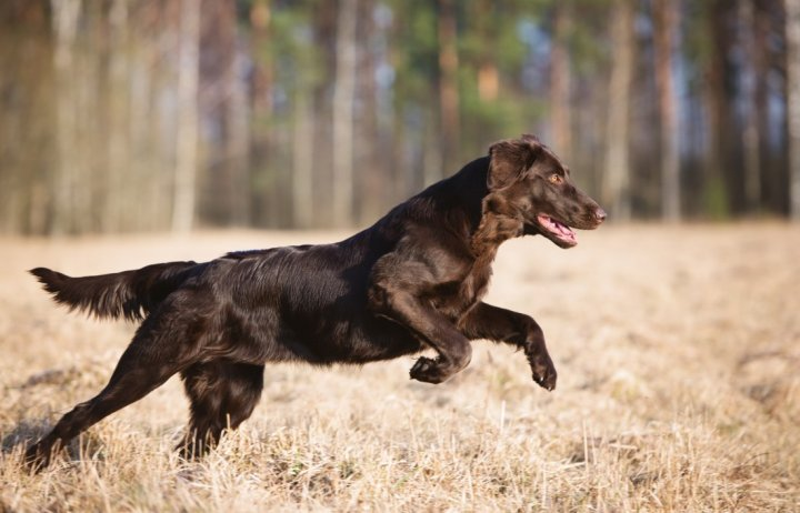 Flat Coated Retriever - bild