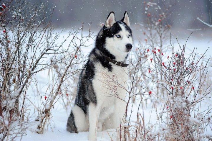 Siberian Husky - bild