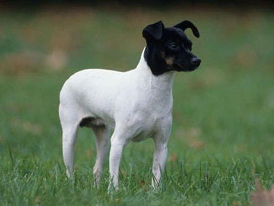Japanischer Terrier - bild