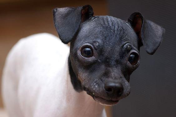 Japanischer Terrier Welpen