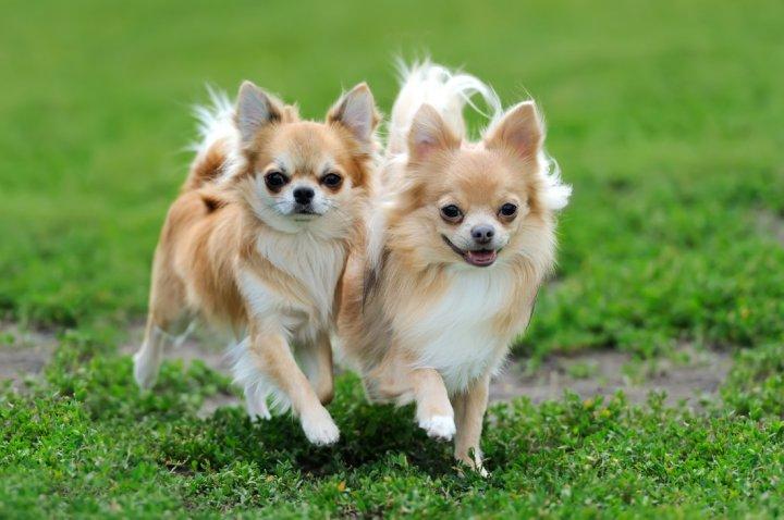 Chihuahua - bild