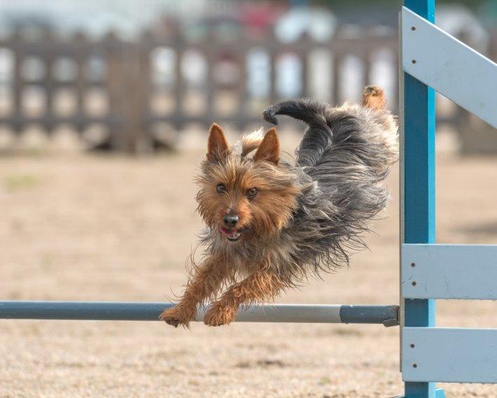 Australian Terrier - bild
