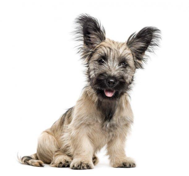 Skye Terrier Welpen