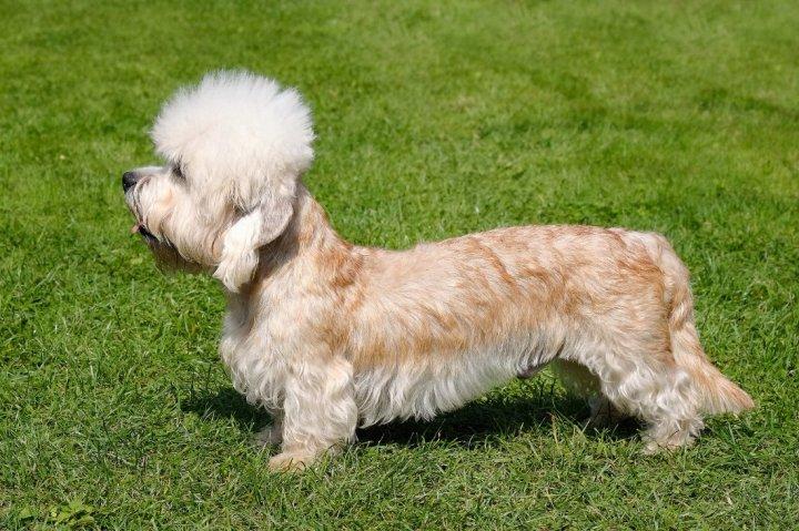 Dandie Dinmont Terrier - bild