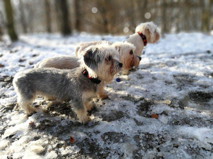 Dandie Dinmont Terrier Welpen