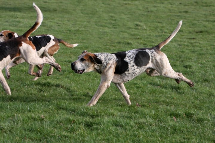 English Foxhound - bild