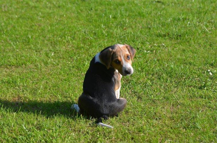 English Foxhound Welpen