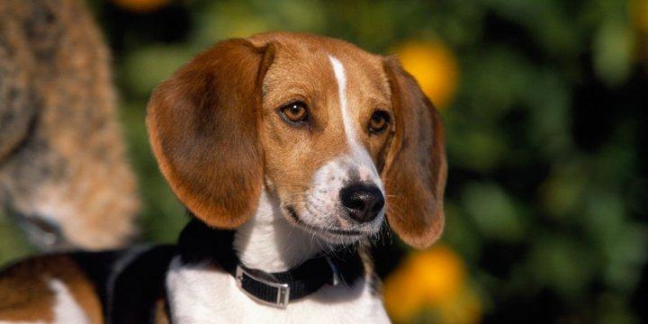 American Foxhound - bild